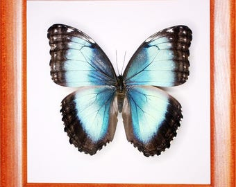 Exotic Morpho helenor butterfly In the frame of the current breed of good wood