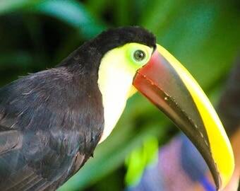 Toucan Bird Photo.