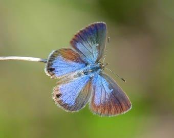Framed Ceraunus Blue