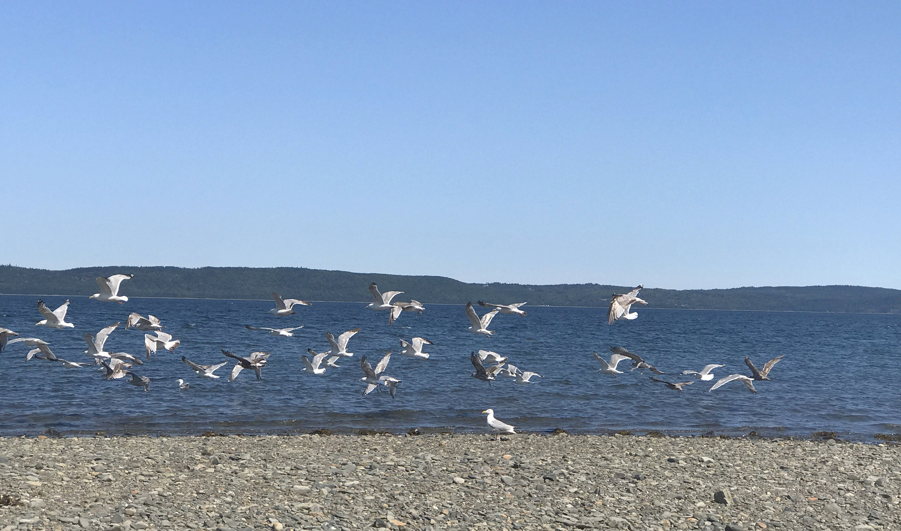 sea gulls in digby nova scotia