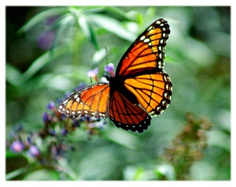 Viceroy Butterfly, Nature Photography - Garden Home Decor Fine Art Print or Note Card Set