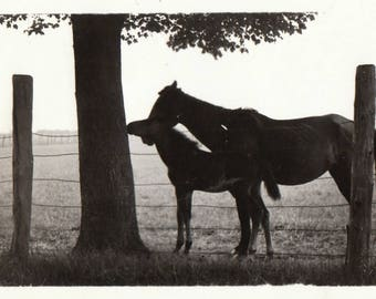 Original Vintage Photograph Snapshot Horse Mare & Foal Silhouetted by Tree 1937