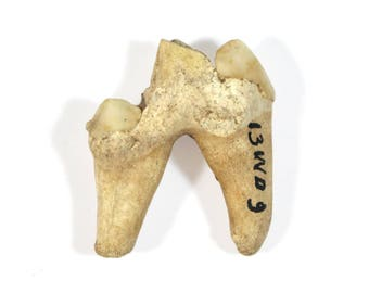 Genuine Fossil Tooth