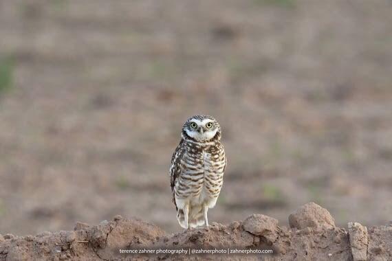Burrowing Owl Photo | Wildlife Decor | Bird Decor | Nature Bedroom Bathroom Home Office Art | Owl Print | Bird Lover Art