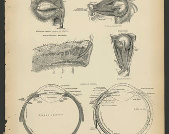 5 Vintage 1880 Human Anatomy Lithograph Print Eye, Ear, Nose, Mouth, Teeth