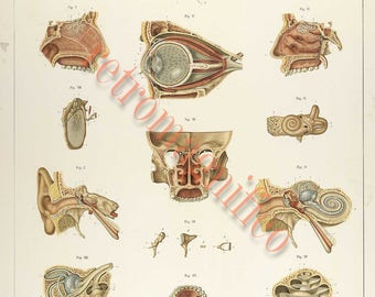 Anatomy of the eye ear tongue and teeth digital download art print, scrapbooking, mixed media, altered art, body parts