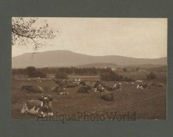 Cows resting on field antique albumen art photo