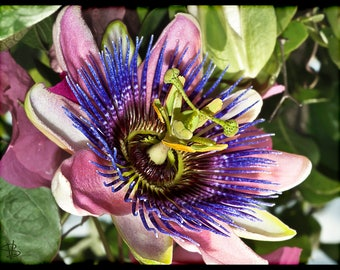 Passiflora coral blue seeds ,205, the clock flower,flower seeds, gardening, climbing flower, clock flower,passiflora quadrangularis