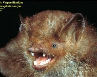 Spread HARPIOCEPHALUS HARPIA Hairy Winged Bat Real Taxidermy