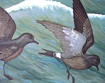 Guadalupe Petrel 106-1, Rex Brasher's Birds of North America, Sea Birds, Vintage Lithographic Print, 1962 Gramercy Publishing Company