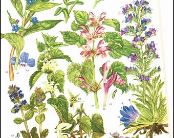 Plate 20 Europe Wild Flowers painted by Barbara Everard. The page is approx. 9 inches wide and 12 inches tall.