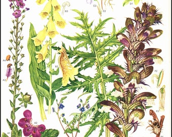 Plate 21 Europe Wild Flowers painted by Barbara Everard. The page is approx. 9 inches wide and 12 inches tall.