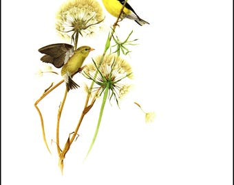 American Goldfinch painted by J F Landsdowne for Birds of the Eastern Forest. The page is approx. 9.5 inches wide  and 13 inches tall.