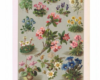 beautiful antique print of plants of the alps  mountain plants