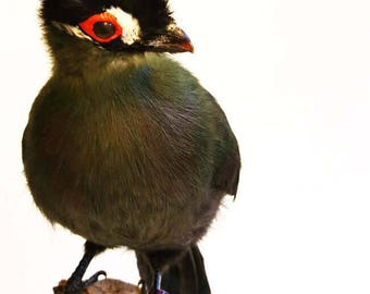 taxidermy stuffed turaco taxidermie präparat naturalisé tierpräparat ausgestopft curiosity mounted bird fly tying feathers