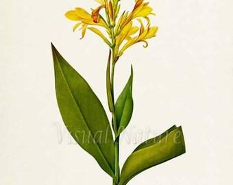 Maraca amarilla Flower Art Print, Water canna Botanical Art Print, Wall Art, Flower Print, Redoute, yellow, Louisiana canna, Canna glauca