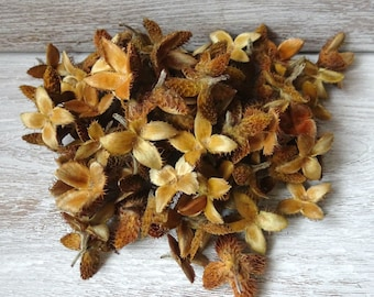 100g asterisk,beech tree seeds,wreath decoration,jewelry making,little stars,Beech Tree Seed Pods,falling decorations,floristy accessories