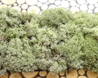 500g Reindeer moss,DIY,lichen,silver moss,sands moss,horned moss,cladonia,star moss,gray moss,dried moss,artificial moss,moss terrarium,moss