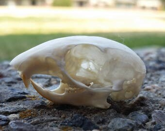 13-lined Ground Squirrel Skull - ChippersTaxidermy