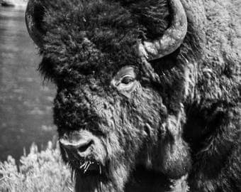 American Bison, Yellowstone National Park, Wildlife, Nature, Wall Art, Wildlife Photography