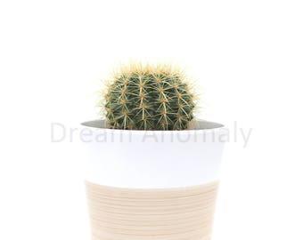 Mini Barrel Cactus On White