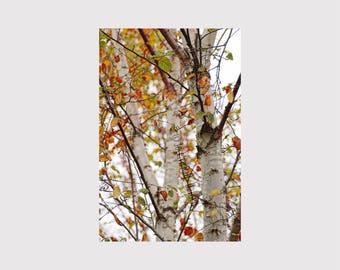 Birch Tree Photo, Colorful Red Orange Fall Autumn Leaves, White Birch Trees Fine Art Photo Nature Print, Fall Birch Tree Leaves Wall Art
