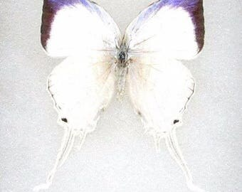 ONE real butterfly white purple Neomyrina hairstreak lycaenidae