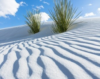 Desert Fine Art Photography Print - Picture of Two Yucca Plants Appearing out of Dune at White Sands New Mexico Interior Home Decor Photo