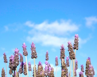 Flower Photography- Lavender Photo Against Blue Sky Lavender Flowers Print on Canvas or Paper Purple Art Girls Room- Free Shipping