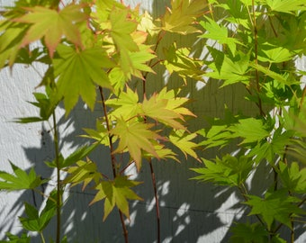 Jordan Japanese Maple Tree