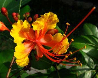 Pride Of Barbados - 10 Organic Seeds - Buy 1 get 1 FREE