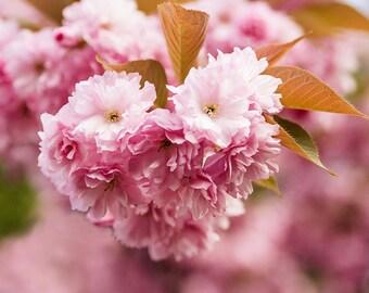 Photographie Fine Art - Fleurs de Cerisier - Toile Photo de Paris