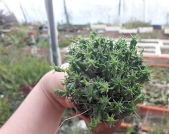 Euphorbia Mammilaria v. minnor cactus, live plant cactus gifts, succulents for terrarium, perenne plants for terrarium, DIY cacti favor