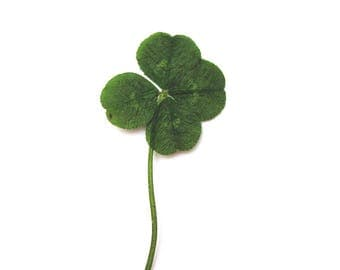 Real Genuine Four Leaf Clover. Original Good Luck Charm Pressed Trifolium Repens White Clover Leaf Plant - The *Only* Officially Lucky Plant