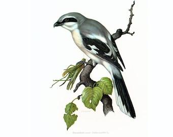 1969 Northern Shrike vintage Bird Print, Ornithology, nature wall art