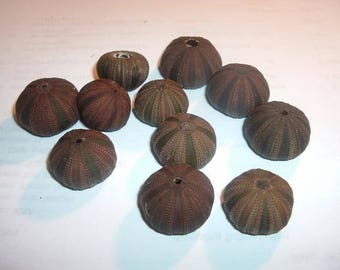 Tuxedo Sea Urchin (Black/Brown)  (Small)  (EA)
