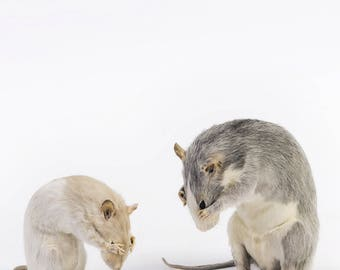 Taxidermy grey and white rat