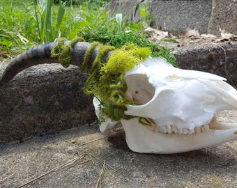 Tribute to the Horned God Cernunnos Real Goat skull