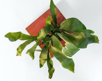 Staghorn fern plaque, ready to hang vertical garden, indoor live plant for home decor.