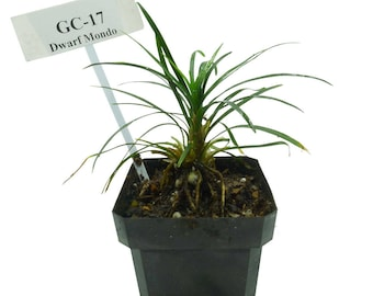 Ophiopogon Japonicas 'Nana' Dwarf Mondo (GC17)