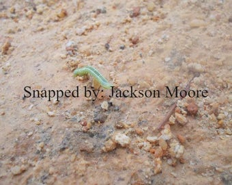 Interesting inchworm photo