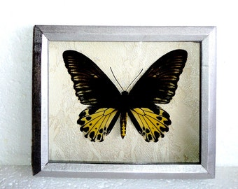 Troides in frame made of expensive wood.