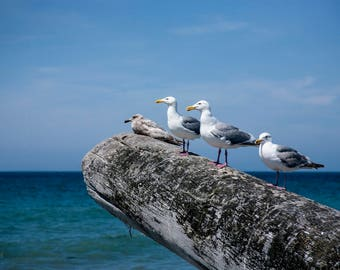 Segulls: WALL ART Fine Art Photography Olympic Penninsula Sequim Washington Dungeness Spit Coast Landscape Nature Beach Wildlife Ocean