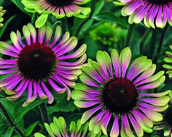Coneflower 'Green Twister' Seeds / Echinacea purpurea / Unique Bicolour Echinacea / Benificial for Bees and Butterflies 0015
