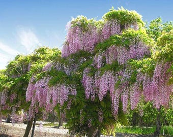 50 Bolusanthus speciosus, African Wisteria tree, Tree Wisteria Seeds