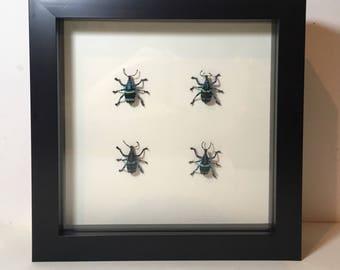 Eupholus linnei taxidermy beetle in frame