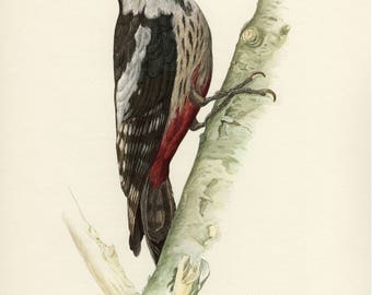 Vintage lithograph of the middle spotted woodpecker from 1953