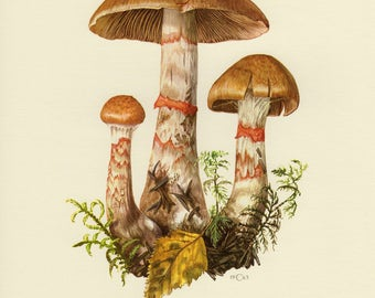 Vintage lithograph of red-banded cortinarius from 1963
