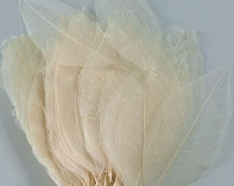 Skeleton Leaves - Bleached Magnolia | Leaf Skeleton | Fossil Leaves |