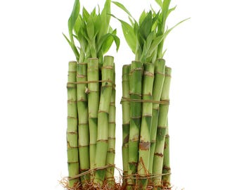 "Lucky Bamboo Live Indoor Plants - Select From a Variety of Lengths and Bundle Quantities - From 4"" to 12"" Stalks"